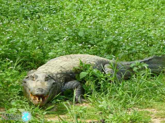 Rurrenabaque Bolivia Alligator