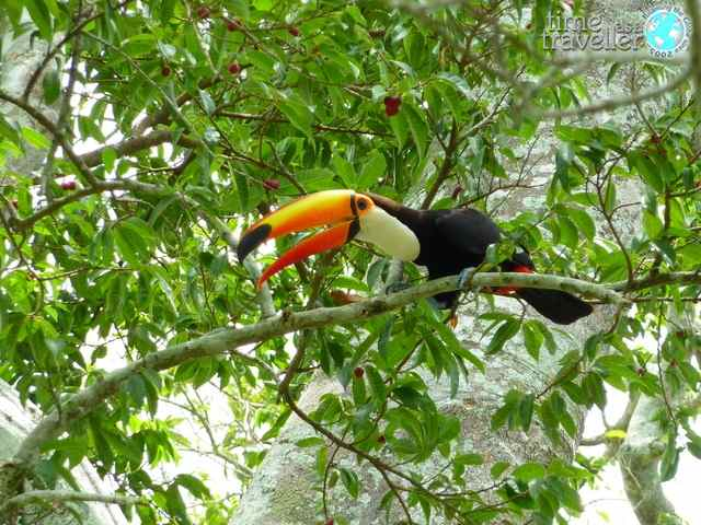 Tucan, Amazon Jungle Bolivia